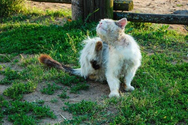 חתול ופרעושים