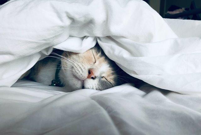 חתול יושן מתחת לשמיכה חמה