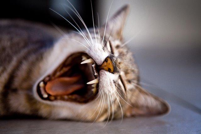 חתול מפהק וחושף שיניים