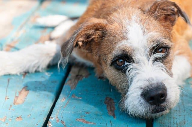 כלב שוכב וצריך טיפול