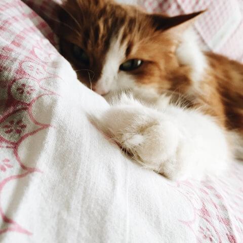 אתם לא רוצים חתול עם פרעושים