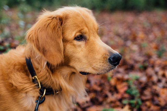 קדחת הקרציות בכלבים