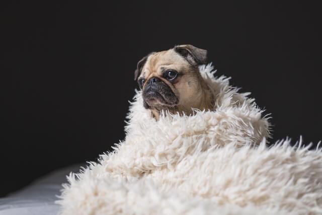 קרציות ופרעושים יכולים לגרום למחלה בכלבים