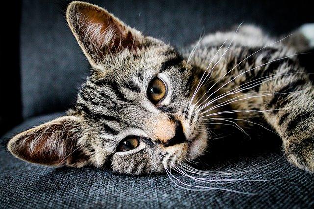 חתול אפור מנומר שוכב על הצד
