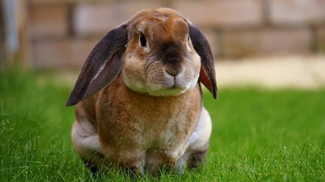 ארנבון ננסי שמוט עוזניים