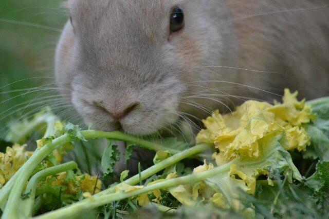 אוכל לארנב