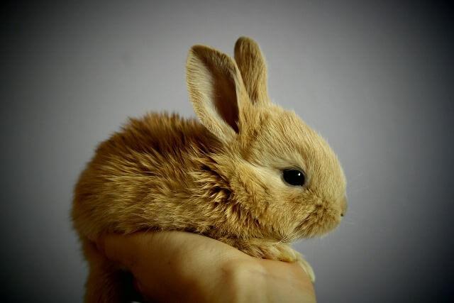 ארנבון ננסי הולנדי