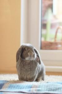 גידול ארנבון בית