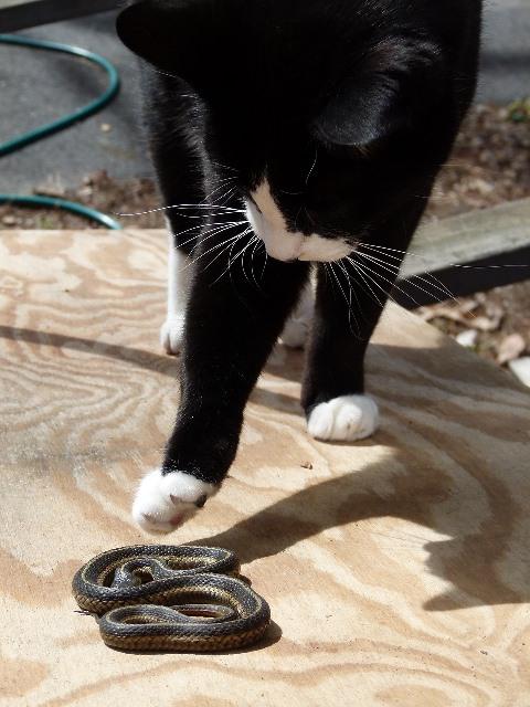 חתול משחק עם נחש