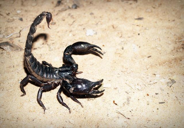 עקרב שחור
