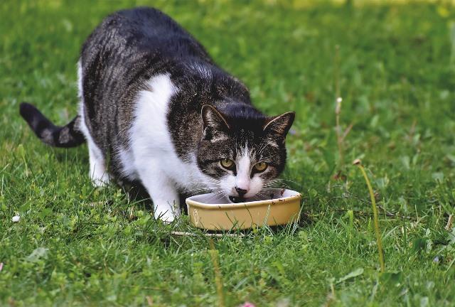 חתול אוכל אוכל כלבים