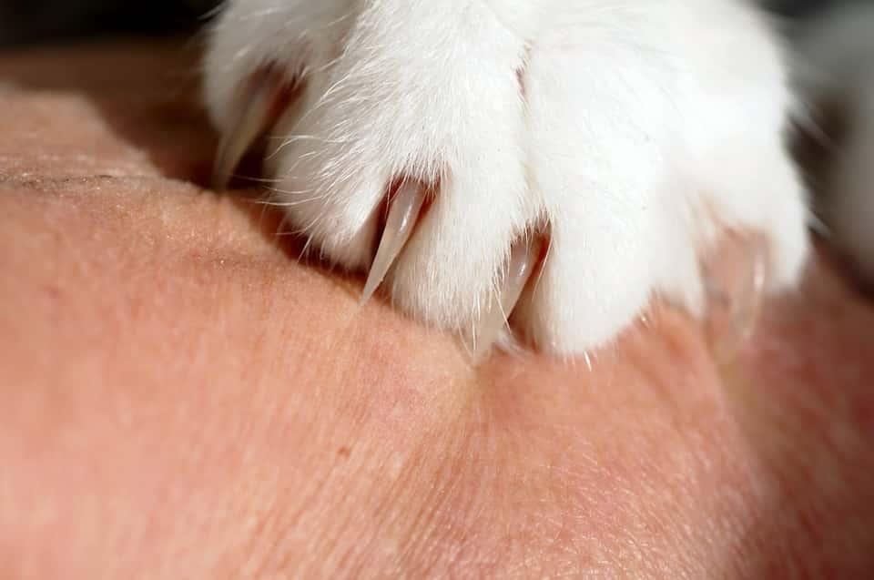 חתול שורט יד