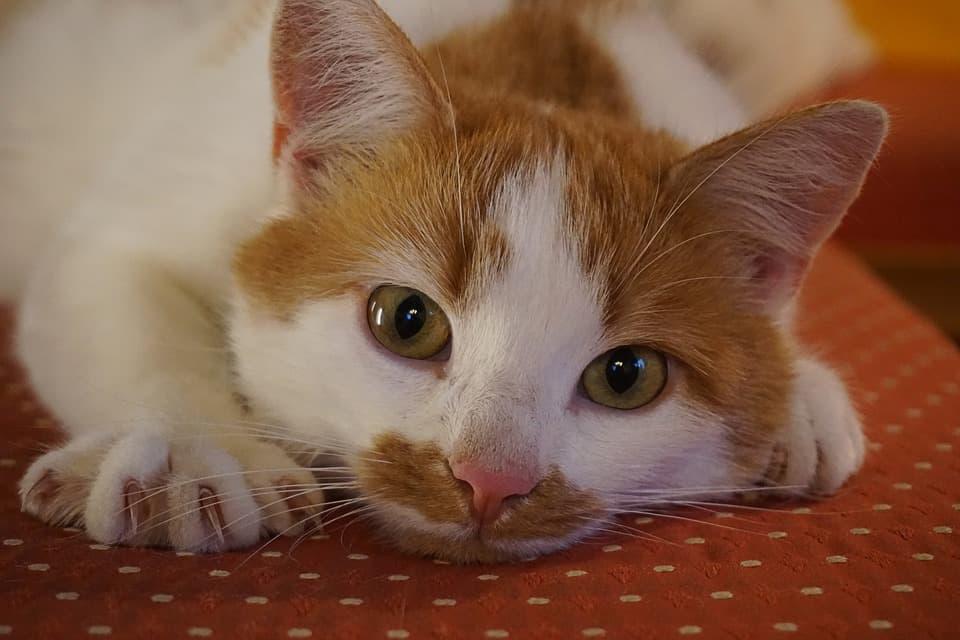 ציפורניים חדים של חתול