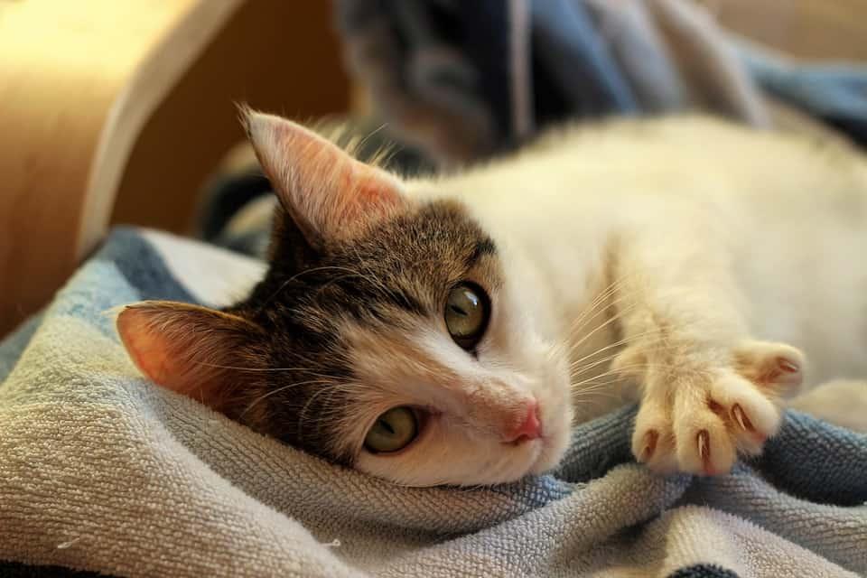 חתול מכורבל עם ציפורניים חדות ושורטות