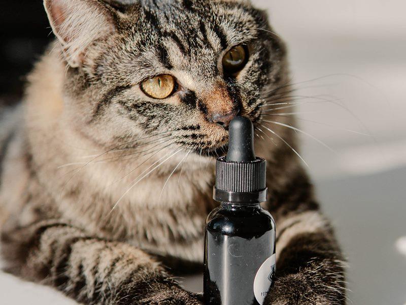 טיפות קנאביס רפואי לחתול